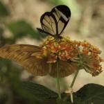 Fjärilar, Benalmádena