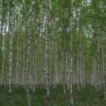 Vårskog, Skedvi