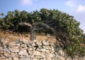 Fikonträd på Syros