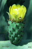 Kaktusblomma i Miro´s ateljéträdgård, Nice
