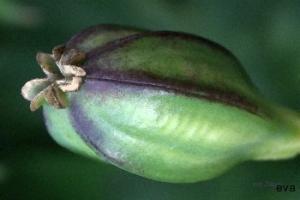 Tulpanfrukt